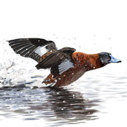 Masked Duck Flight Illustration