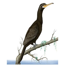Neotropic Cormorant Body Illustration