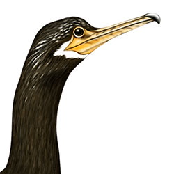 Neotropic Cormorant Head Illustration