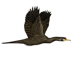 Neotropic Cormorant Flight Illustration