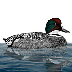 Falcated Duck Body Illustration_2