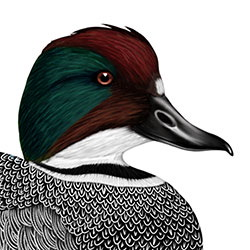 Falcated Duck Head Illustration