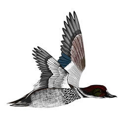 Falcated Duck Flight Illustration