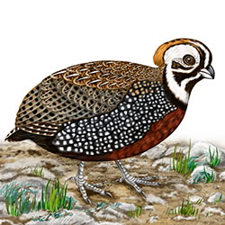 Montezuma Quail Body Illustration