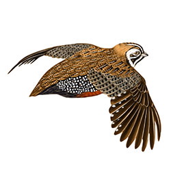 Montezuma Quail Flight Illustration