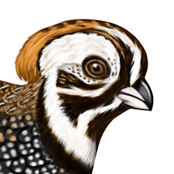 Montezuma Quail Head Illustration