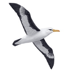 Black-browed Albatross Flight Illustration