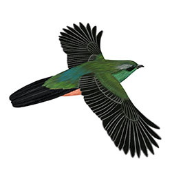 Eared Quetzal Body Illustration