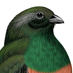 Eared Quetzal Head Illustration