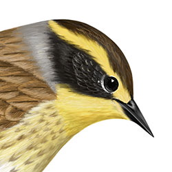 Siberian Accentor Head Illustration