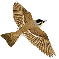 Siberian Accentor Flight Illustration