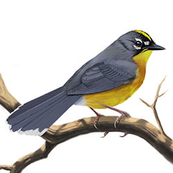 Fan-tailed Warbler Body Illustration.jpg