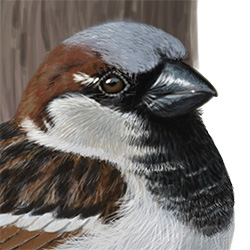 House Sparrow Head Illustration