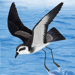 White-faced Storm-Petrel Body Illustration
