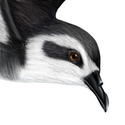 White-faced Storm-Petrel Head Illustration