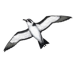 White-faced Storm-Petrel Flight Illustration