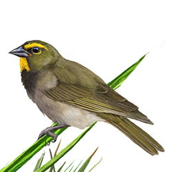 Yellow-faced Grassquit Body Illustration