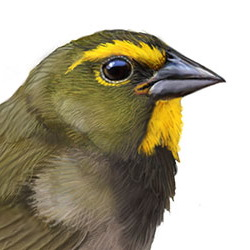 Yellow-faced Grassquit Head Illustration