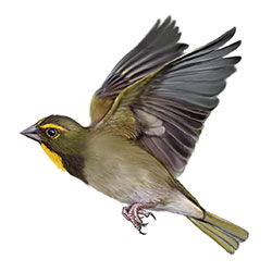 Yellow-faced Grassquit Flight Illustration