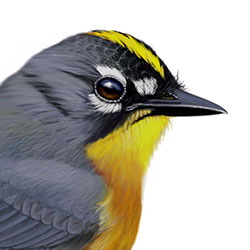 Fan-tailed Warbler Head Illustration.jpg