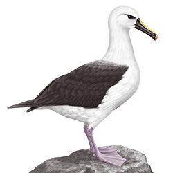 Yellow-nosed Albatross Body Illustration