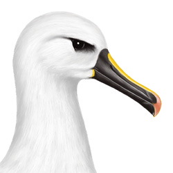 Yellow-nosed Albatross Head Illustration