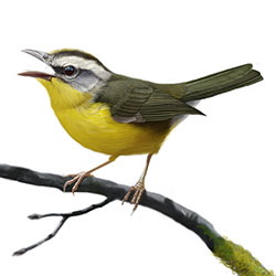 Golden-crowned Warbler Body Illustration