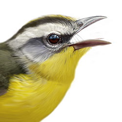 Golden-crowned Warbler Head Illustration