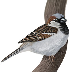 House Sparrow Body Illustration