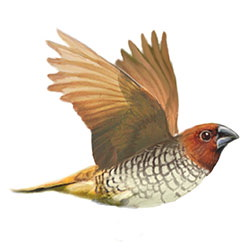 Scaly-breasted Munia Flight Illustration