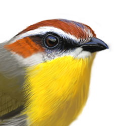 Rufous-capped Warbler Head Illustration