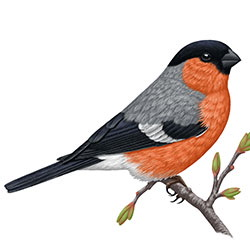 Eurasian Bullfinch Body Illustration
