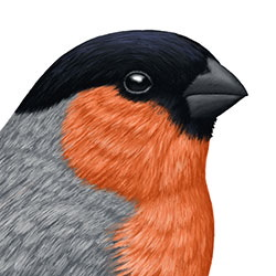 Eurasian Bullfinch Head Illustration