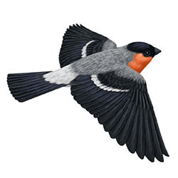 Eurasian Bullfinch Flight Illustration