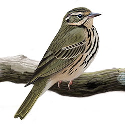 Olive-backed Pipit Body Illustration