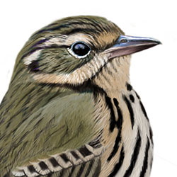 Olive-backed Pipit Head Illustration