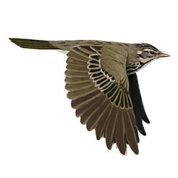 Olive-backed Pipit Flight Illustration