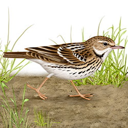 Pechora Pipit Body Illustration