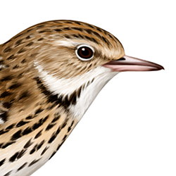 Pechora Pipit Head Illustration