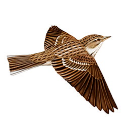 Pechora Pipit Flight Illustration