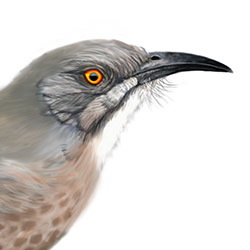 Curve-billed Thrasher Head Illustration.jpg