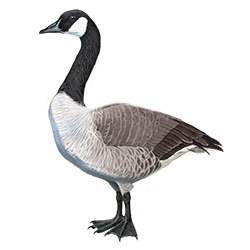 Canada Goose Body Illustration