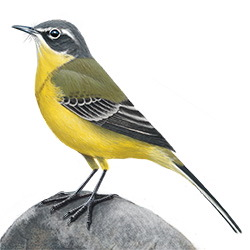 Eastern Yellow Wagtail Body Illustration
