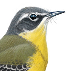 Eastern Yellow Wagtail Head Illustration