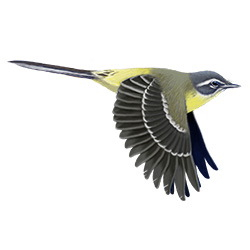 Eastern Yellow Wagtail Flight Illustration