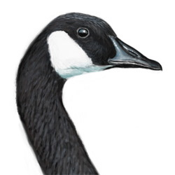 Canada Goose Head Illustration