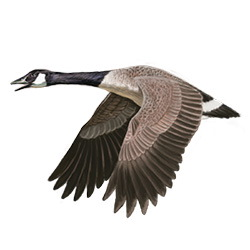 Canada Goose Flight Illustration