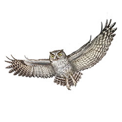 Western Screech-Owl Flight Illustration.jpg