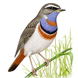 Bluethroat Body Illustration