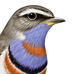 Bluethroat Head Illustration